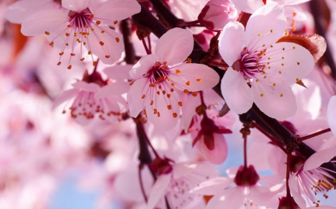 Sakura meaning in Japanese culture