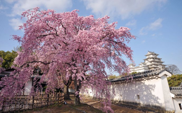 What does Sakura mean in Japanese?